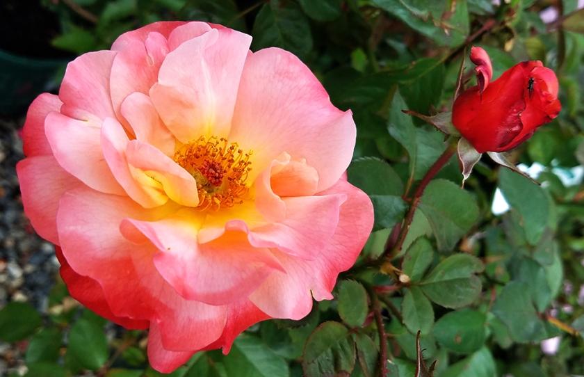 rose-001-1000