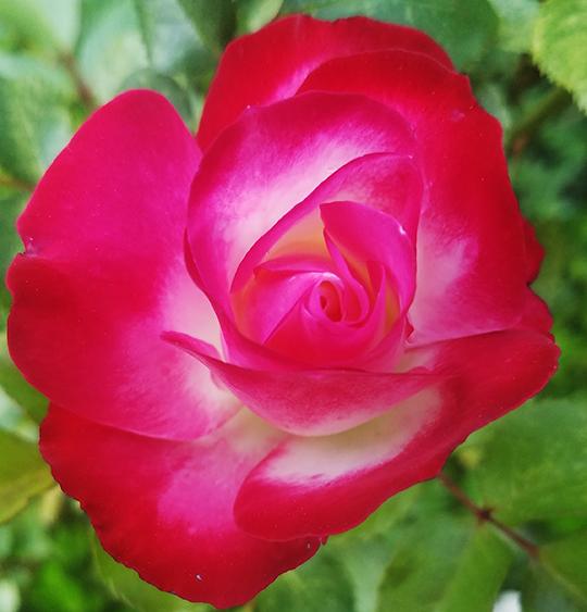 rose06052017-800