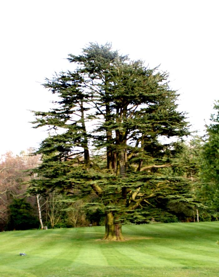 scottish tree-dahlhousieIMG_2313