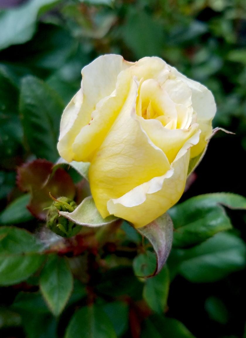 yellowrose0023017-1000