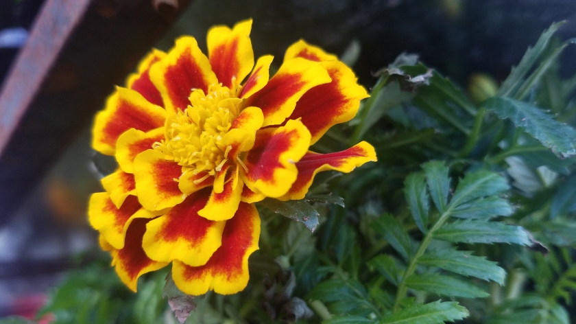 20170526_marigold.jpg