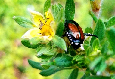 beetle0