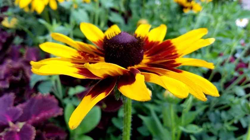 blackeyed-susan07142017
