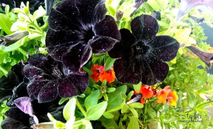 blackpetunia-cls