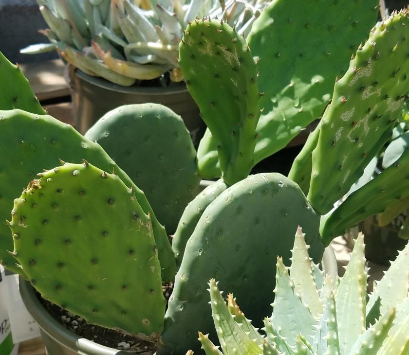 cacti-txture
