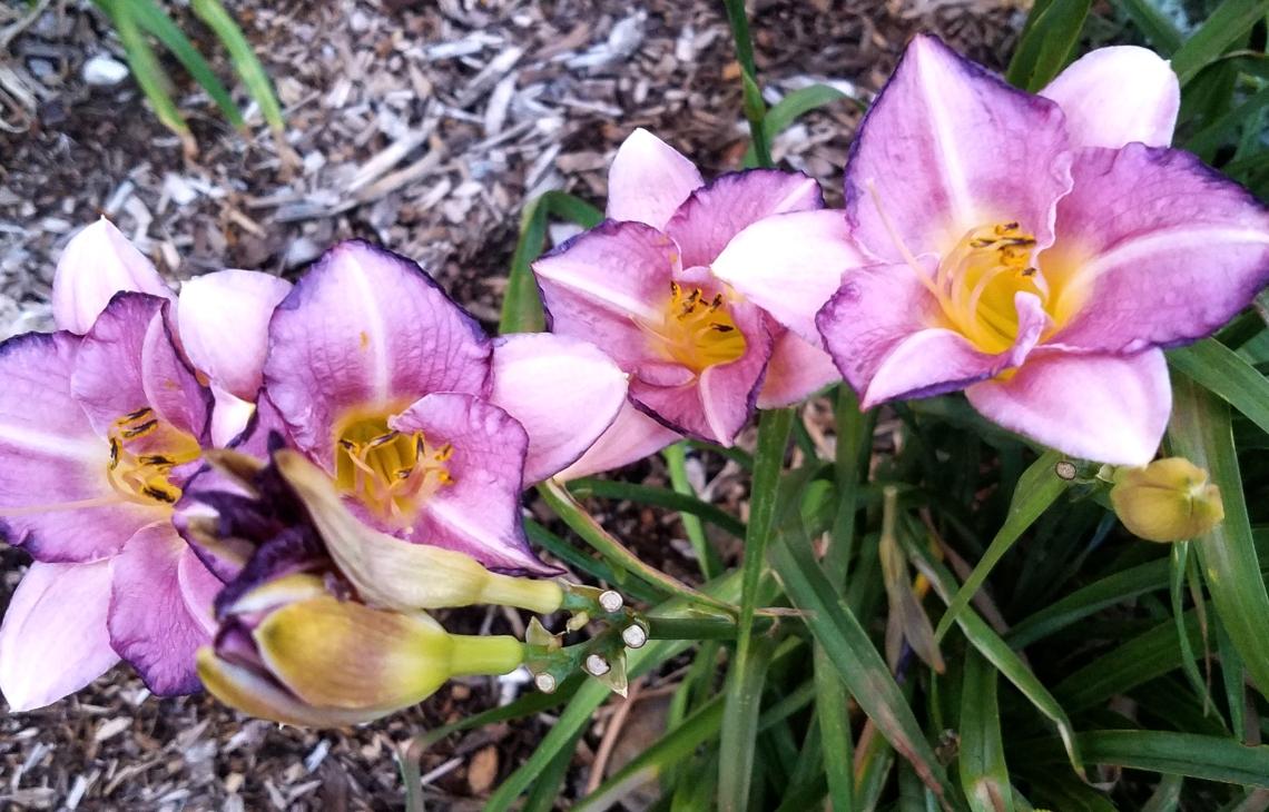purple-lilies07152017