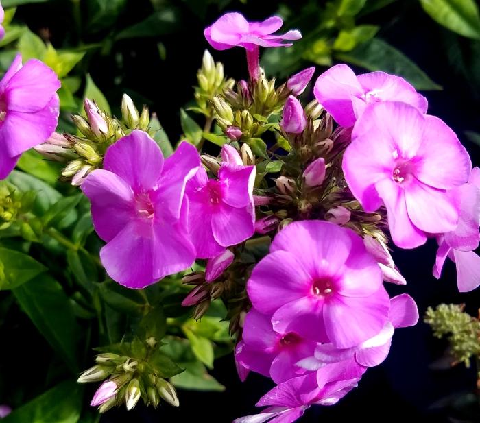 purpleflower07222017