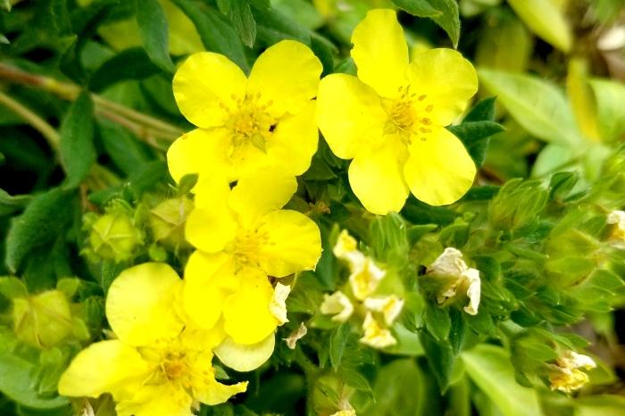 yellowflower-07182017