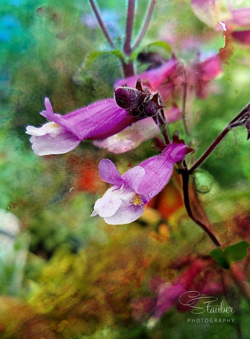 00-floral-20170529_142522_penstemonwatercolor