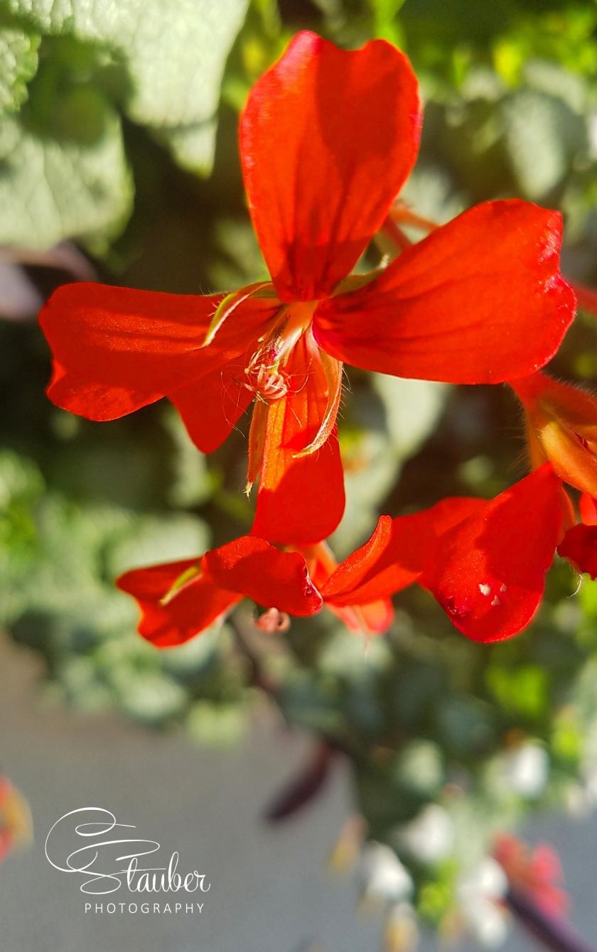 00-geranium-20161023_165738_A