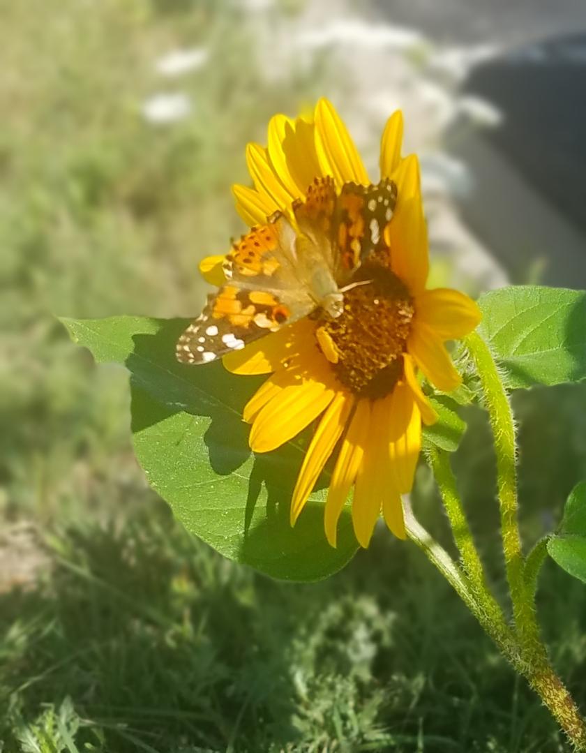 20170811_100919_sunflowerbutterfly2