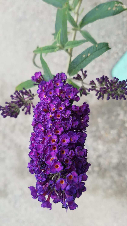 00-Butterflybush-purple-20170916_130456_A