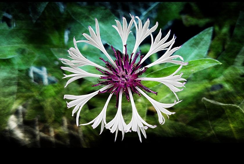 00-centaurea-amythystinsnow-20170529_143148_A