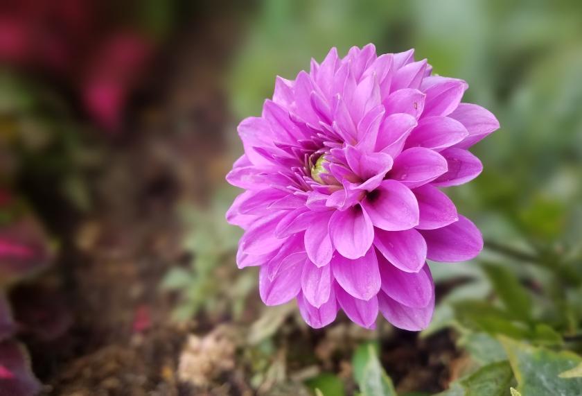 00-purple-Dahlia-20170916_142302_A