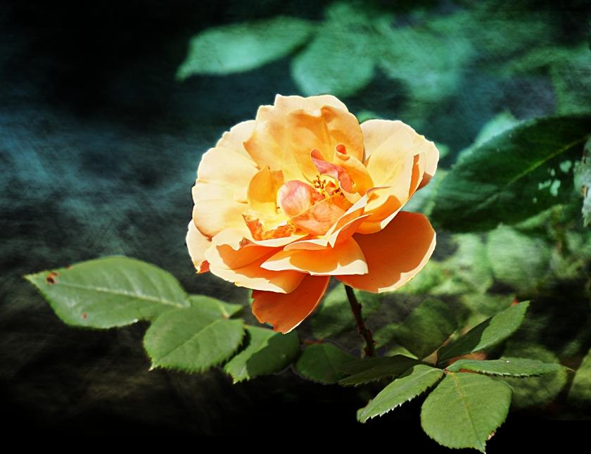 00-rose-DSC03111_Ae.jpg