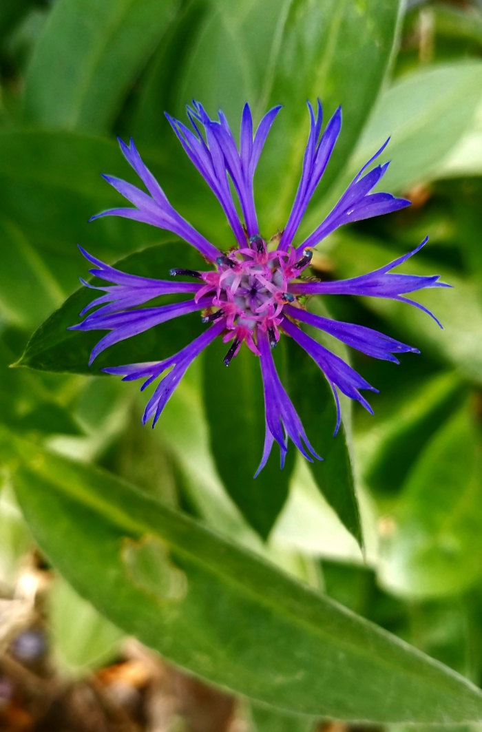 01-blueflower-09112017_A