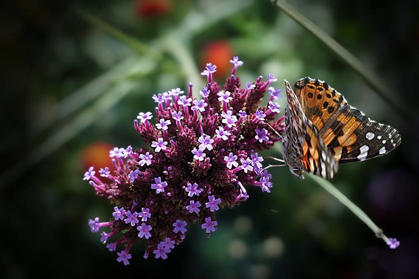 00-Floral-butterflybush-DSC03082A