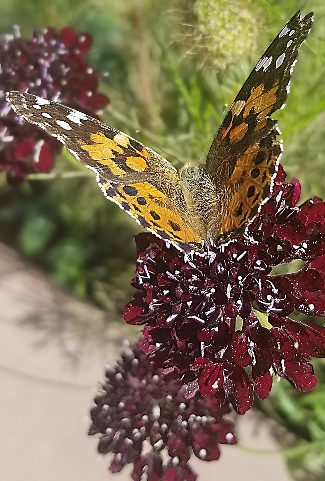 00-paintedlady-purplflower20170930_111621_pe