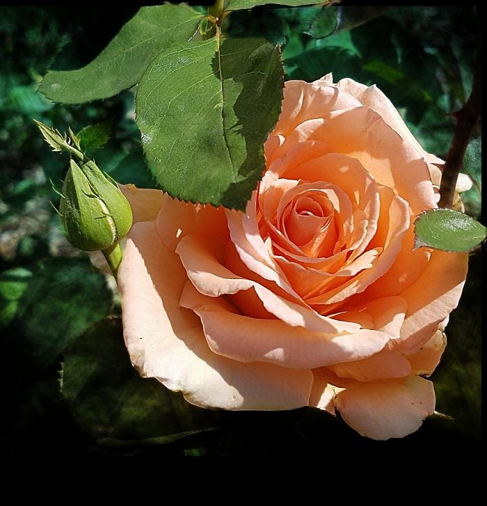 00-Rose-20171001_140223_A