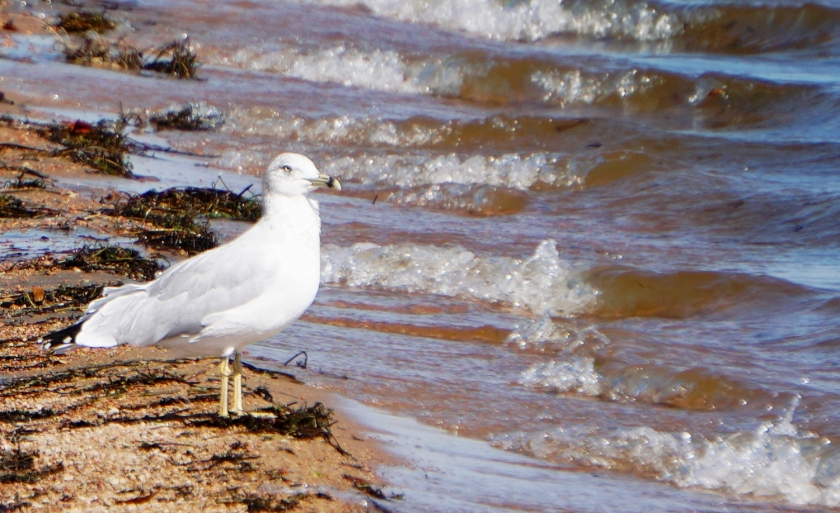 00-seagull-DSC03448_pe