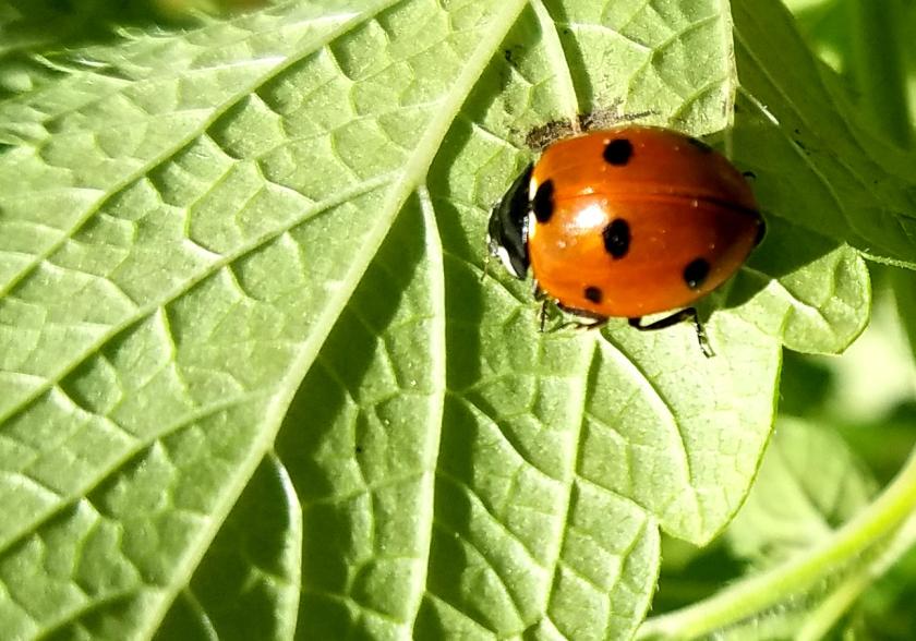 20170701_090147_ladybug2