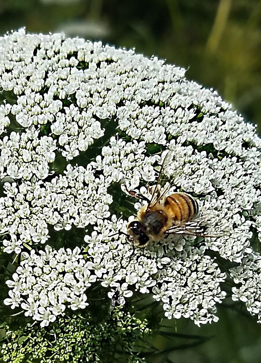 20170930QueensAnnesLace1-bumblebee