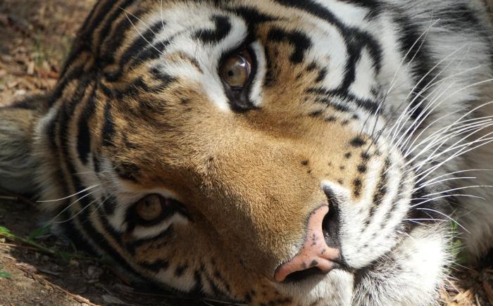 tigerface-DSC00814