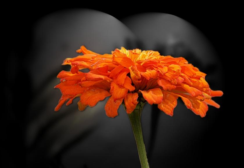 00-marigold-DSC03130_A.jpg