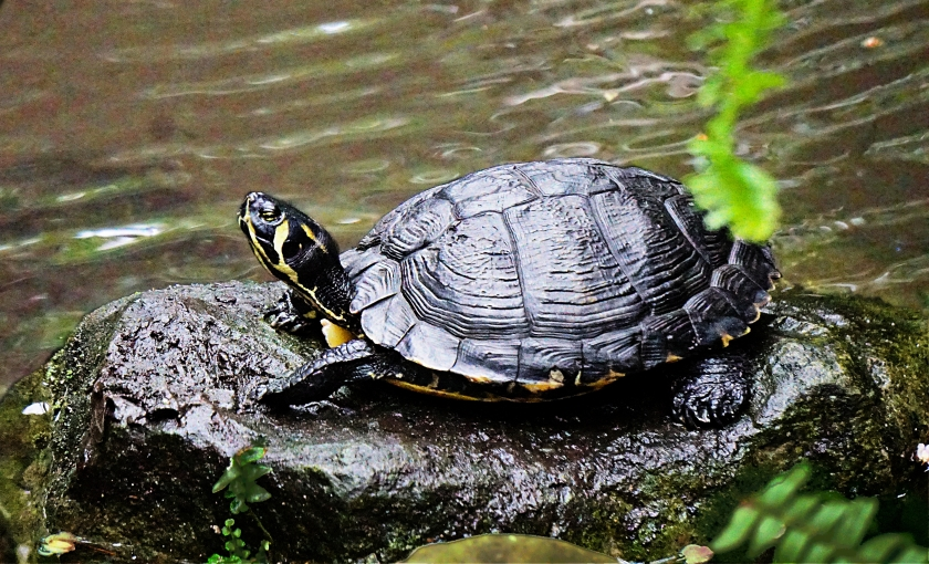 00-Turtle-DSC02995A