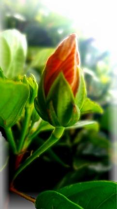 00-bud-hibiscusbud-20170526_164039-A