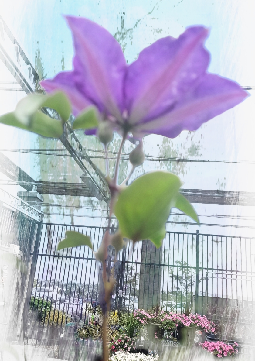 00-clematis-uniqueperspectiveA
