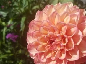00-Dahlia-pink-20170930_112331_A