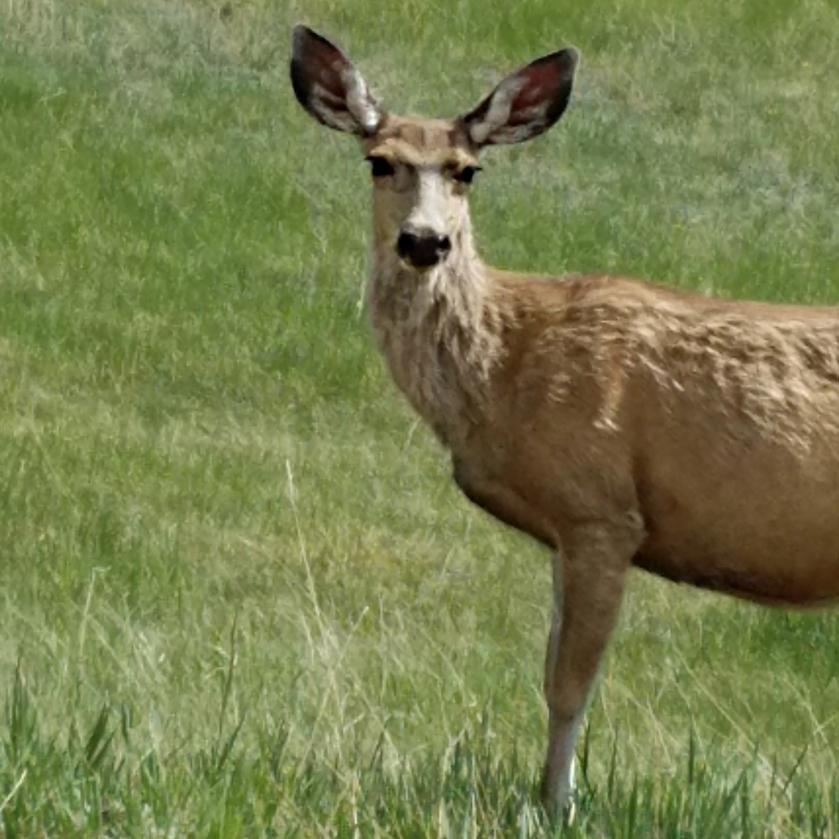 00-deer-20170521_151939A