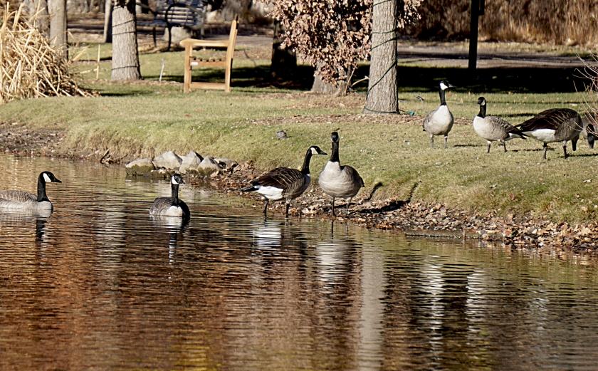 00-geese=DSC03695A