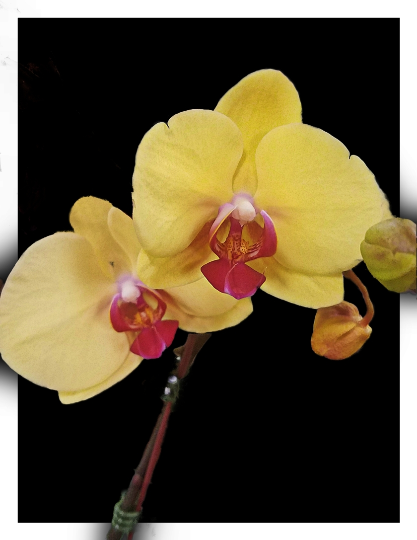 00-orchid-yellow-20171209B