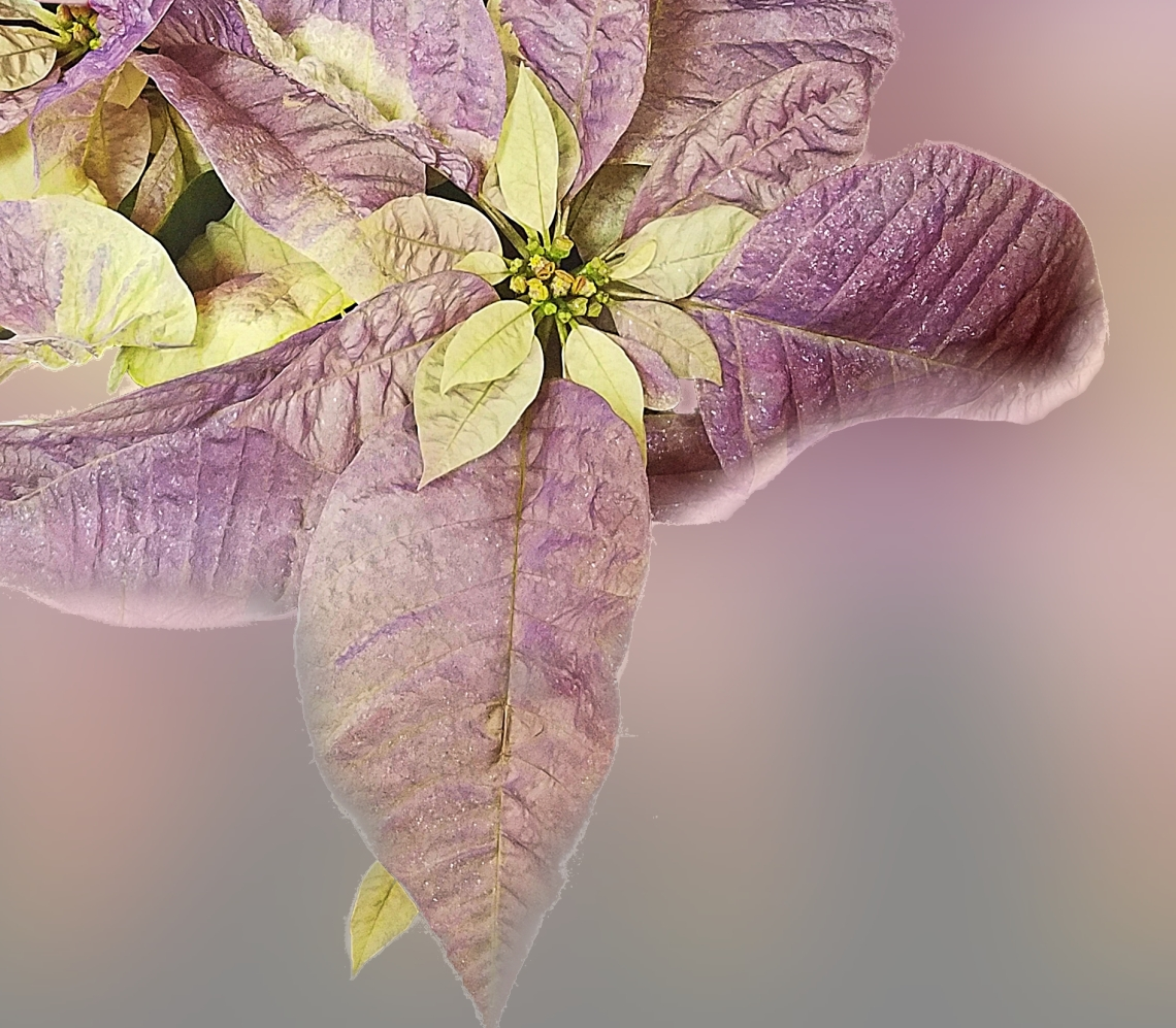 00-poinsetta-purple-20171209_172032aglass