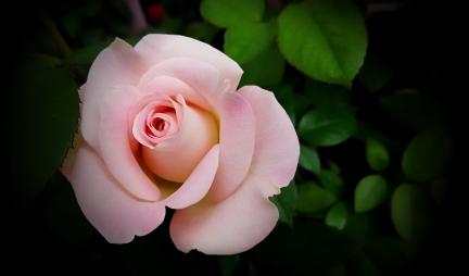 00-rose-20170529_143340_001
