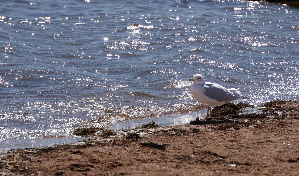 00-seagull-DSC03460A