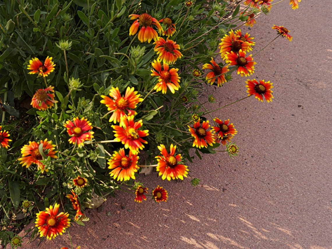00-Summerflowers-DSC02732A