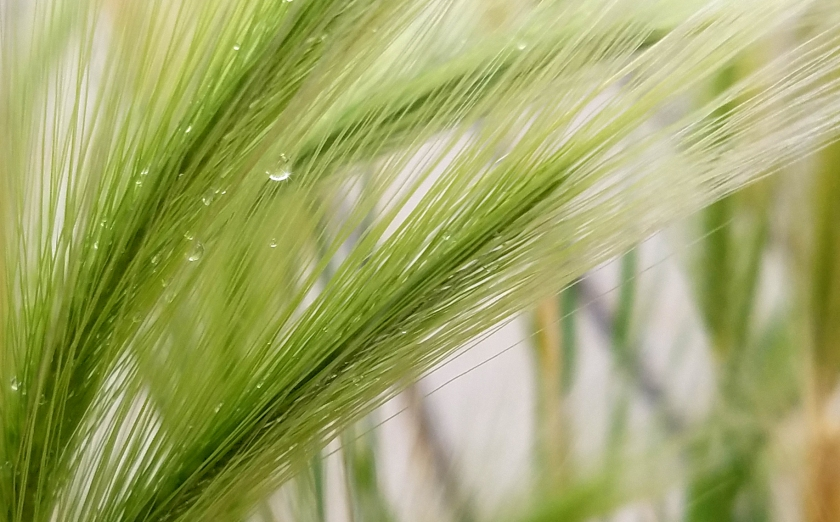 raindropdecorativegrass
