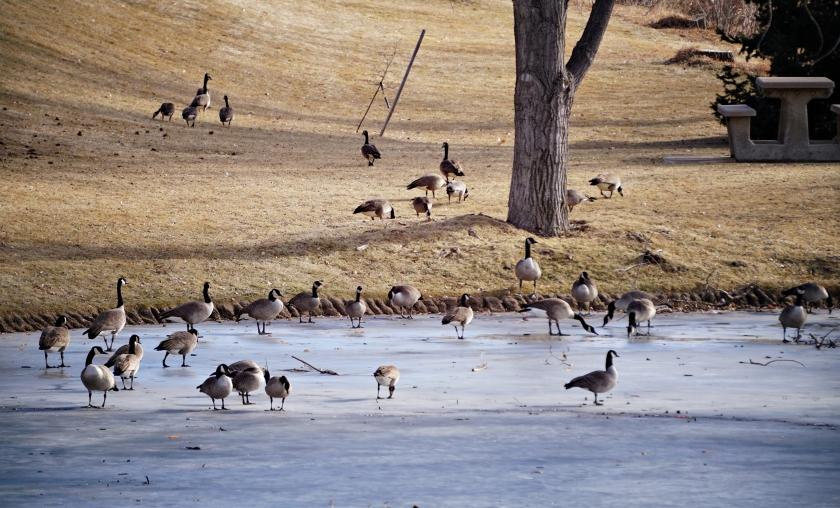 00-geese-DSC03932_pe