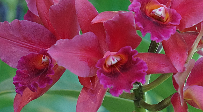 00-orchids-DSC03625A