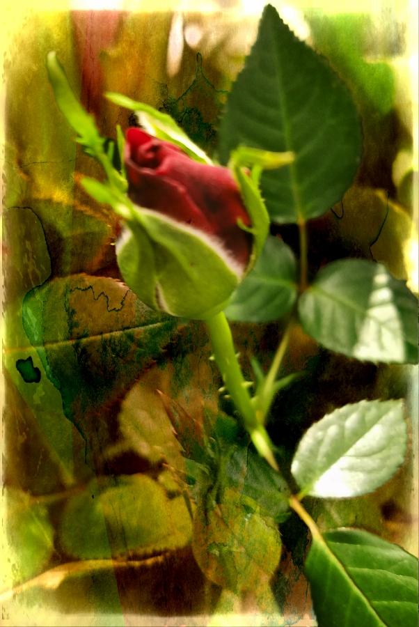 00-RoseBud-20180123_164729_900