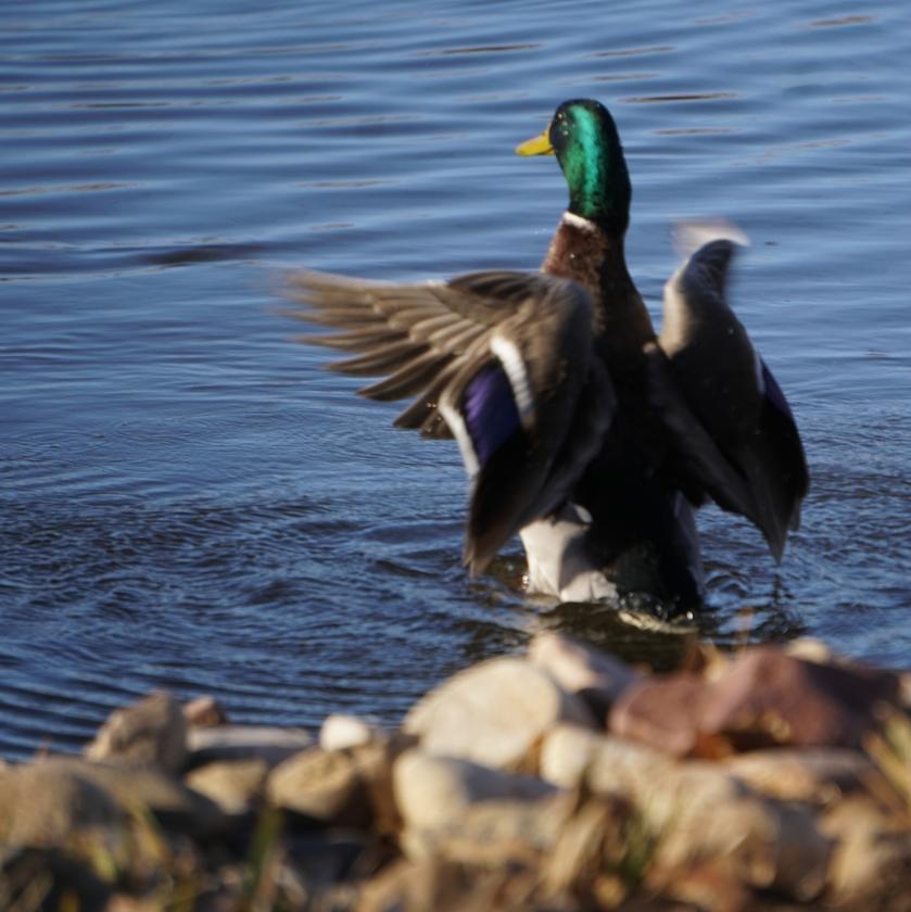 00-sq-duck-3689A