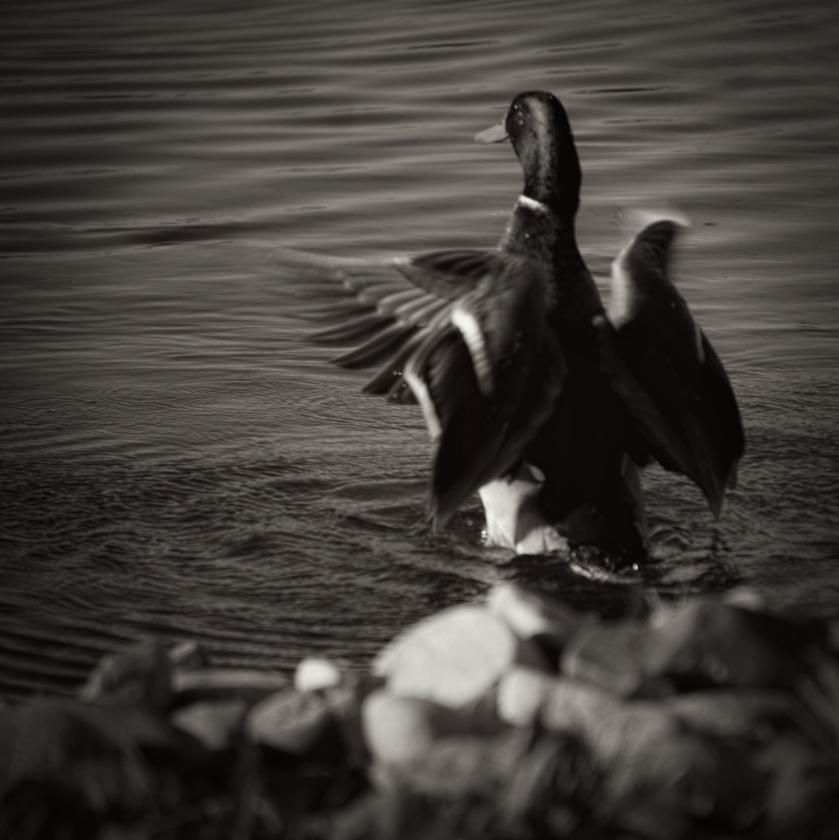 00-sq-duck-3689B