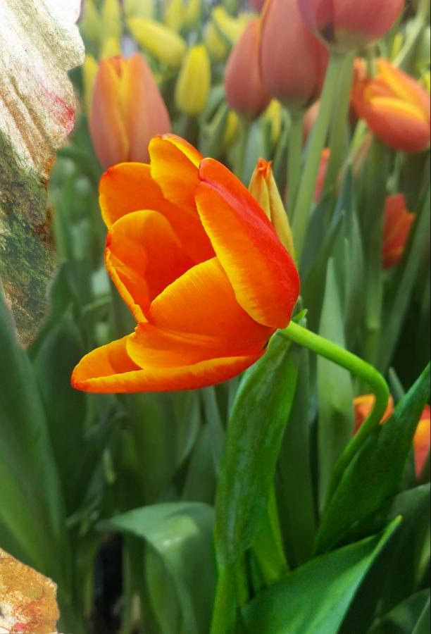 00-tulip-20180117_164735_39720104942A900