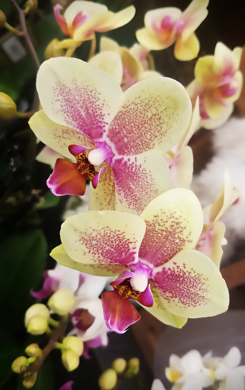 0106-orchid-20180104A