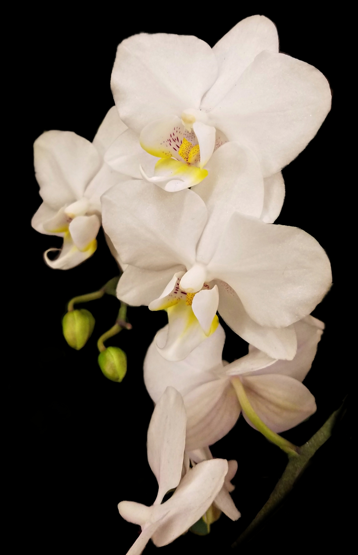 0107-whiteorchid-39477626862_A