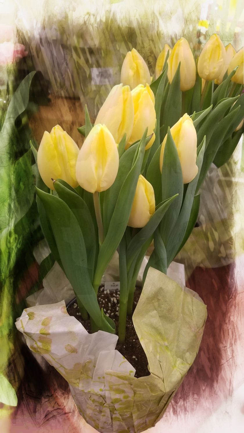 0109-20180104_yellowtulips