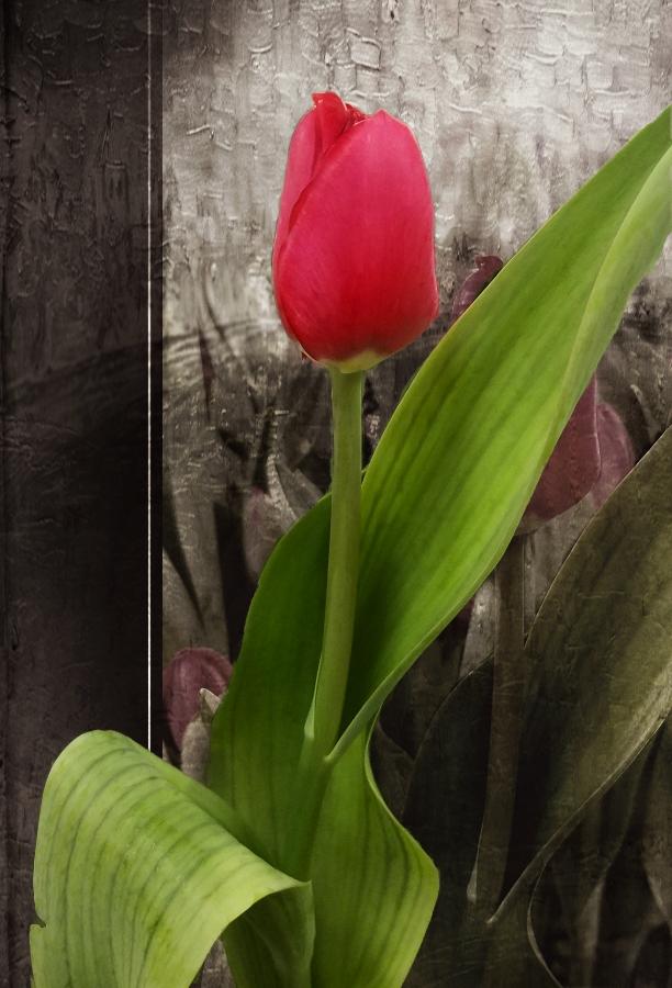 20180117_164823_tulipA900